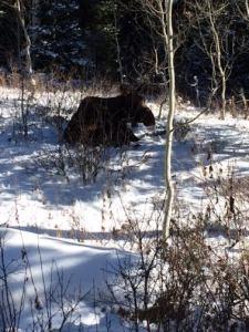 Moose, Salt Lake City, Utah